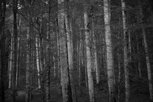 BIRCH FOREST Montenegro