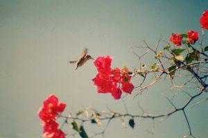 HUMMINGBIRD Mexico Todos Santos